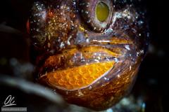 Parenting - Lembeh style (Alessandro Cer) Tags: underwater macro yoslembehecodiveresort brooding cardinalfishesapogonidae fishes lembeh frostfincardinalfishostorhinchushoevenii tk3 indonesia bonyfishesosteichthyes eggs flagfincardinalfish sulawesiutara id