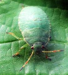 Common Green Shieldbug nymph - Palomena prasina (John Steedman) Tags: shieldbug london uk unitedkingdom england   greatbritain grandebretagne grossbritannien       insect greenshieldbug palomenaprasina nymph instar