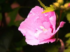 Hibiscus 2016 1 (megegj)) Tags: gert bloem flower blume fiore fleur tuin garden garten jardin hibiscus