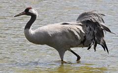 Crane 230416 (2) (Richard Collier - Wildlife and Travel Photography) Tags: birds crane wildlife naturalhistory british