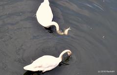 DSC_0459 (rachidH) Tags: birds oiseaux swan cygne muteswan cygnusolor cygnetubercul thames river kingston london england uk rachidh nature swanlings cygnets