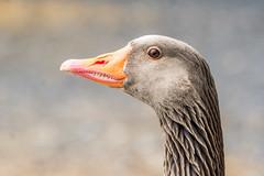 Ein Vogel mit Zhnen - a bird with teeth (ralfkai41) Tags: portrait anseranser graugans gnse birds nature macro vgel tiere outdoor goose animals natur graylaggoose