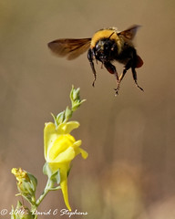 Coming At Us (dcstep) Tags: bee bumblebee flying flight aurora colorado unitedstates us y6a9462dxo cherrycreekstatepark canon7dmkii ef500mmf4lisii ef14xtciii handheld nature urban urbannature allrightsreserved copyright2016davidcstephens dxoopticspro11