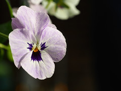 viola (mark.griffin52) Tags: olympusem5 england buckinghamshire cheddington garden flower viola