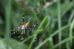 """Argiope bruennichi"" - wespenspin (bugman11) Tags: wespenspin spider spiders bug bugs insect insects animal animals fauna canon 100mm28lmacro nederland thenetherlands nature macro 1001nights 1001nightsmagiccity"