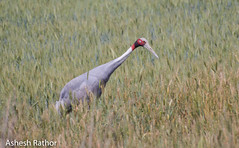 Sarus crane (asheshr) Tags: grusantigone up beautifulbird beautifulbirds bigbird bird birds birdsofindia crane d7200 incredibleindia india largebird nikon nikond7200 sarus saruscrane uttarpradesh