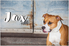 Jax (living_dead_babe) Tags: bully dog breed charity animal woof