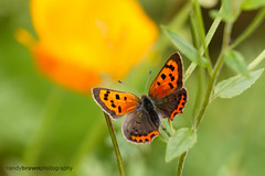 Nemo the Small Copper (Explored 29 July 2016) (ABPhotosUK) Tags: animals butterflies canon cornwall cotehelehouseandgardens ef100400mmisii ef25mmextensiontube eos7dmarkii invertebrates lepidoptera lycaenaphlaeas lycaenidae macro nationaltrust smallcopper wildlife