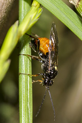 Got a Saw butt? - HBBBT! (The Mad Macrographer) Tags: largerosesawfly argepagana hbbbt beautifulbugbuttthursday fly macro canon7d canonef100mmf28lmacroisusm extensiontubes outdoors garden peterborough uk