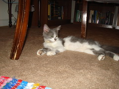 Stella Blue relaxing after her first day in her new home (DaisyDeadhead) Tags: kittens rescues felines