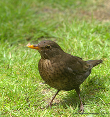 1-DSC_3722 - Female Blackbird (Turdus merula) (whiskymac) Tags: femaleblackbird turdusmerula nature wildlife