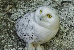 Snowy Owl 1 (Largeguy1) Tags: snowy owl nature large bird macro canon 5dsr