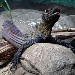 Lipstick lizard (enjosmith) Tags: lizard tarongazoo rocks lipstick