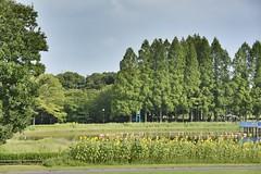 Shonai Park ,Nagoya City ,Japan. (marcelo.nakazaki) Tags: asia japan japon japao aichiken nagoya parque park aoarlivre lago lake arvores tree ceu sky sunflower blossom floraao flores flor yelow amarelo postcard nature natureza