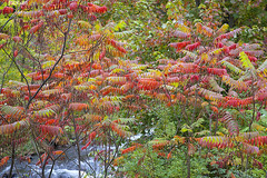 0982Fall09 (Robin Constable Hanson) Tags: stream water autumn fall foliage green horizontal landscapes leaves red sumac