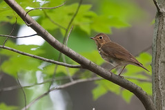 Spectacles (martytdx) Tags: garretmountain nj woodlandpark birding birds migrationspring2016 thrush swainsonsthrush catharusustulatus catharus turdidae lifelist
