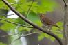 Spectacles (martytdx) Tags: garretmountain nj woodlandpark birding birds migrationspring2016 thrush swainsonsthrush catharusustulatus catharus turdidae lifelist