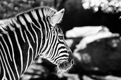 Zebra (VirtualWolf) Tags: animal australia bw bokeh canonef135mmf2lusm canoneos7d equipment mammal mosman newsouthwales places sydney tarongazoo techniques wildlife zebra