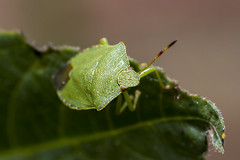 Mono reception.... (The Mad Macrographer) Tags: greenshieldbug dof bokeh outdoors portrait insect garden macro peterborough uk canon7d canonef100mmf28lmacroisusm nikkvalentine