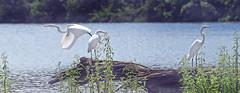 Three...Count 'em...Three (Vidterry) Tags: egrets greategrets cedarlake