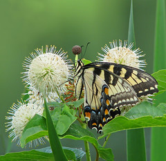 Eastern tiger swallowtail in buttonbush (Vicki's Nature) Tags: easterntigerswallowtail butterfly yellow black stripes tiger spots touchofblue touchoforange buttonbush wildflowers white round balls spikes pointy hickorylogreservoir georgia vickisnature canon s5 2108