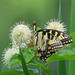 Eastern tiger swallowtail in buttonbush