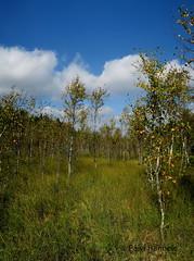 koivikko (Paivi Hannele) Tags: finland ourfinland landscape luonto kasvi maisema vesi puut thisisfinland joki jrvi syksy autumn