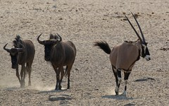 Wildebeest / Gemsbok (Jos Rambaud) Tags: gazella connochaetes u oryx gemsbok oryxgazella gacela antilope wildebeest wild wildlife salvaje naturaleza nature natureza animal mammals mamiferos etosha etoshanationalpark namibia africa afrika travel viaje nationalpark