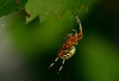 a method of locomotion (laurie_frisch) Tags: marbled orb weaver spider yellow black woods wooded habitat behavior cedarrapids iowa bug bugs arachtober orbweaver orange red