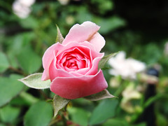 blush (Lovely Pom) Tags: pink rose flower plant blushing new blooming outdoor young