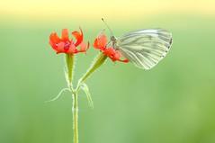 Wooow...flower power (Zbyszek Walkiewicz) Tags: butterflies butterfly sony closeup coth