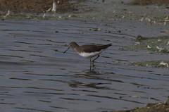IMGP8667 Green Sandpiper, Rye Meads, September 2016 (bobchappell55) Tags: ryemeads rspbnaturereserve nature wild bird wader green sandpiper