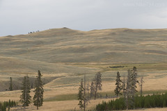 "Bison on Specimen Ridge • <a style=""font-size:0.8em;"" href=""http://www.flickr.com/photos/63501323@N07/29941018182/"" target=""_blank"">View on Flickr</a>"