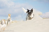 """Sand Dune Queen: """"West Wittering Beach"""" """"West Sussex"""" (Mr Whites Paw Prints) Tags: westsussex jackrussell nibbler westwitteringbeach sanddunequeen"""