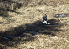 "Woodpecker in flight 1 • <a style=""font-size:0.8em;"" href=""http://www.flickr.com/photos/30765416@N06/16285880514/"" target=""_blank"">View on Flickr</a>"