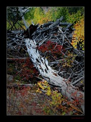 Fallen Colours (Seeing Things My Way...) Tags: autumn usa tree fall yellow forest gold colorado fallen trunk rockymountains aspen