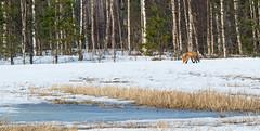 Fox in the field (JaniOjalaFINLAND) Tags: winter rabbit field animal hunting fox hungry rabbits