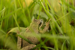 _DSC4257 (Simply Angle) Tags: macro grass leaves closeup outdoors spring sony amphibian frog toad amphibians leafs 2015 canonfd amphibia canonfd50mmf18 macrofilter canonfd50mm sonyphotographing sonyphotography nex3