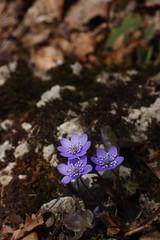 1eres  fleurs 2015  /hepatica -mobilis  /anemone hepatique (luka116) Tags: fleur schweiz switzerland suisse swiss anemone svizzera vaud hepaticanobilis 2015 renonculaces nozon pompaples
