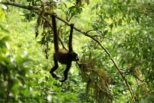 Spider Monkey en Tikal - Guatemala