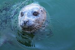 Harbour seal (KaseyEriksen) Tags: ocean sea cute water animal harbour victoria seal wharf curious