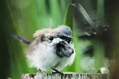 Baby Blue Robin (Robbie Guarino) Tags: bird wren malerobin malewren