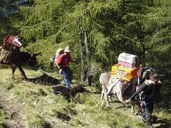 P1050091 (Franois Magne) Tags: wild camp color nature montagne landscape wolf conservation loup mouton chiens berger sauvage ne patou ferus pastoralisme patous pastoraloup bt