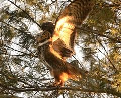 Great-Horned Owl (Chris McConnell Photography) Tags: bird hunting whitby owl birdofprey greathorned durhamregionwildlife