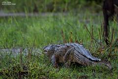 Predator on the move (V I J U) Tags: nature wildlife january amphibian crocodile srilanka predator yala 2015 canon5dmarkiii ef500mmf4lisiiusm vijujose