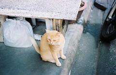 Stare () Tags: animal cat 2000 kodak super 200 yashica fx3 colorplus