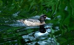Lesser Scaup (standhisround) Tags: uk london water birds reflections duck wetlands waterfowl barnes lesserscaup