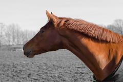 DSC_3831_bearbeitet-1.. (manfredlang286) Tags: cheval weiss pferd schwarz hest paard
