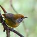 Chrysominla strigula, bar-throated minla - Doi Inthanon National Park