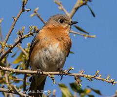 Mama Bluebird (Lindell Dillon) Tags: oklahoma nature birds raw tamron easternbluebird lindelldillon
